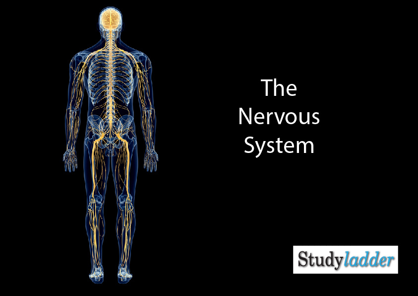 Nervous System Studyladder Interactive Learning Games