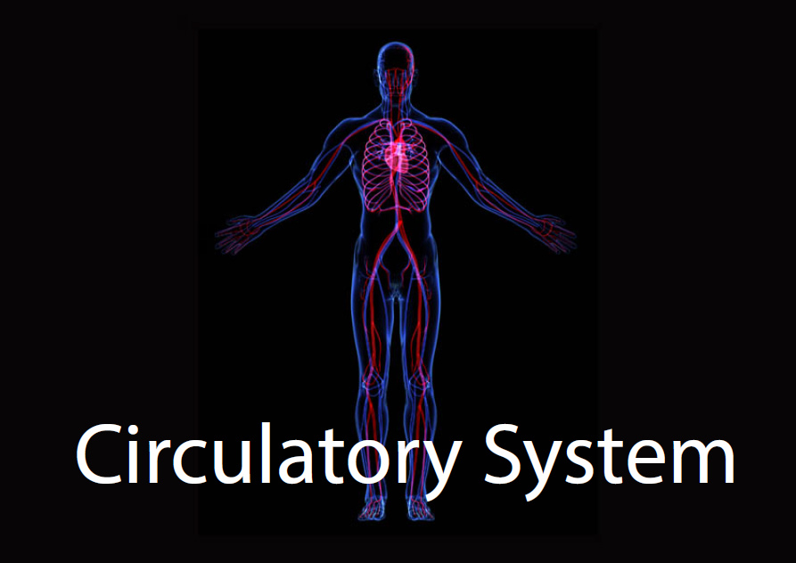 The Circulatory System Studyladder Interactive Learning Games