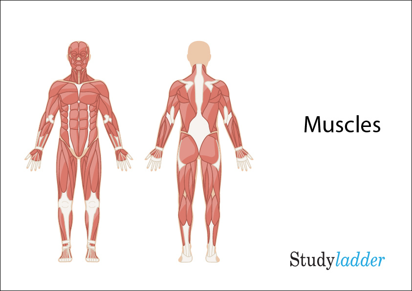 Muscles 6slides Theme Based Learning Skills Online Interactive