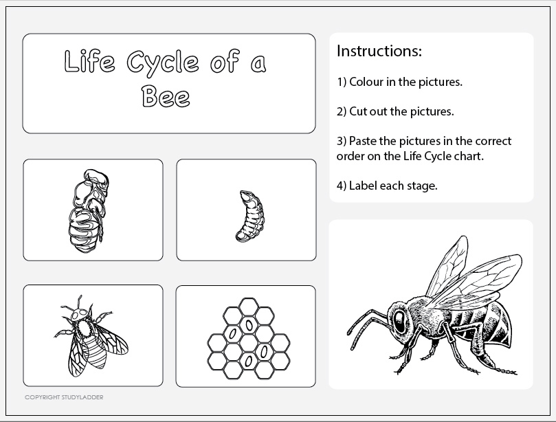 Bee Life Cycle Worksheets | Book labels, Worksheets and Bees