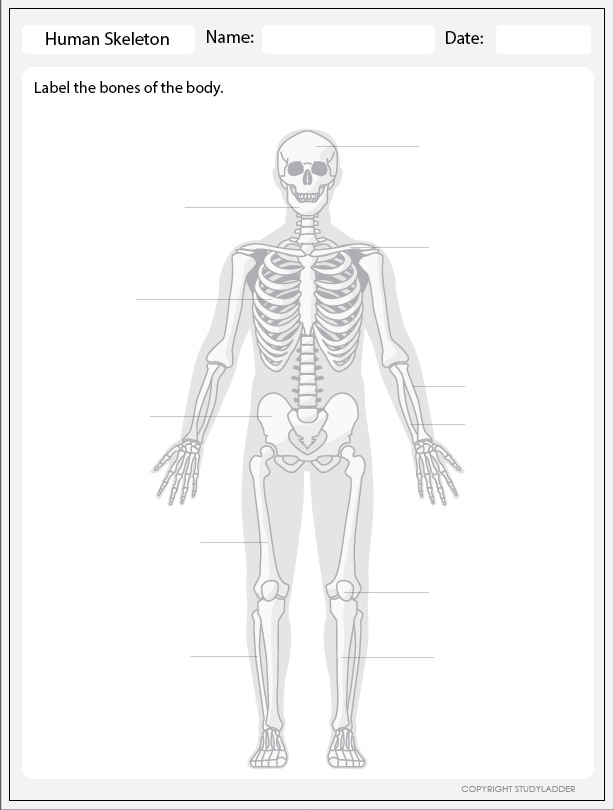 Human Skeleton - Label, Theme Based Learning skills online ...
