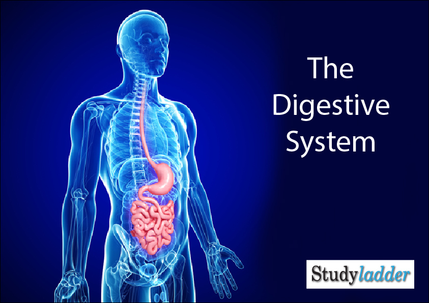 Interactive Human Digestive System Games | Healthy HesongBai