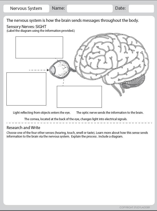 Nervous System Sensory Nerves Theme Based Learning Skills Online